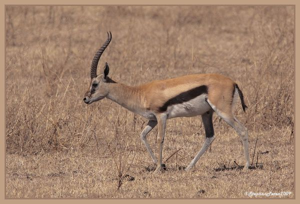 GazelledeThompsonNgorongoro.3.11-09.jpg