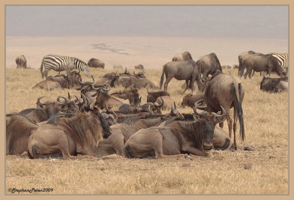 GnouNgorongoro.7.11-09.jpg