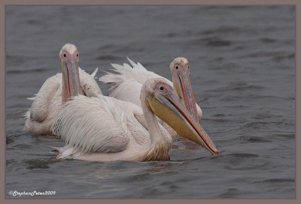 PelicanblancNgorongoro.4.11-09.jpg
