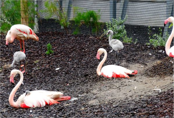 bebes-flamants-roses-zoo-de-paris.jpg