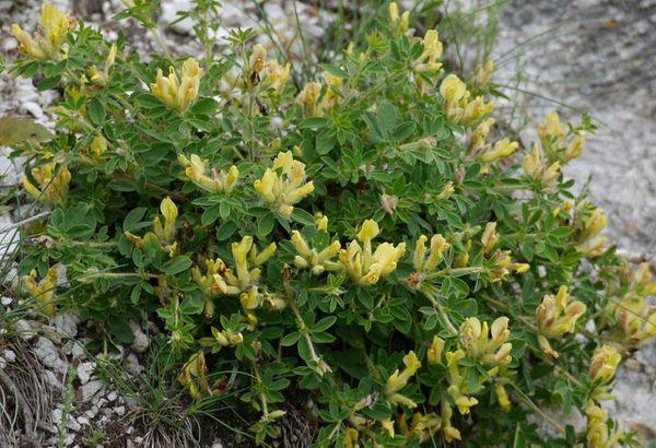Chamaecytisus-hirsutus-ssp-pumilus.jpg