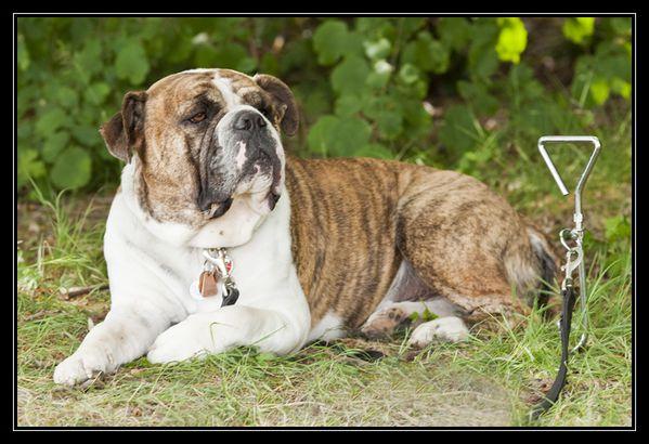 Bulldog Américain - web 750 - IMG 2090