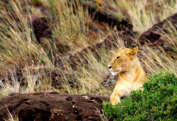 28 Kenya Masai Mara «Voir juste c'est juste voir»