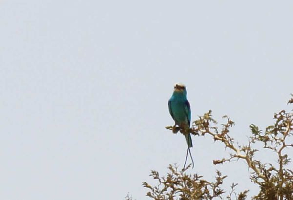 oiseau bleu2