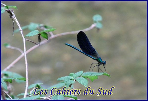 libellule bleue [640x480]