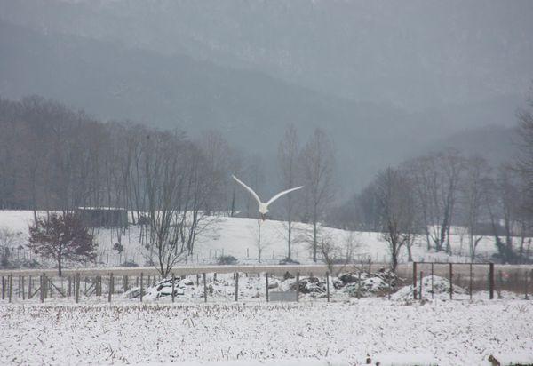 Animaux-3-4392-Oiseau-des-neiges-jpg