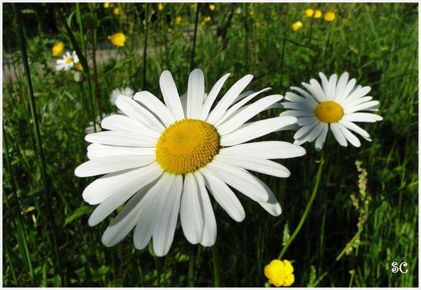 fleurs blanches-11
