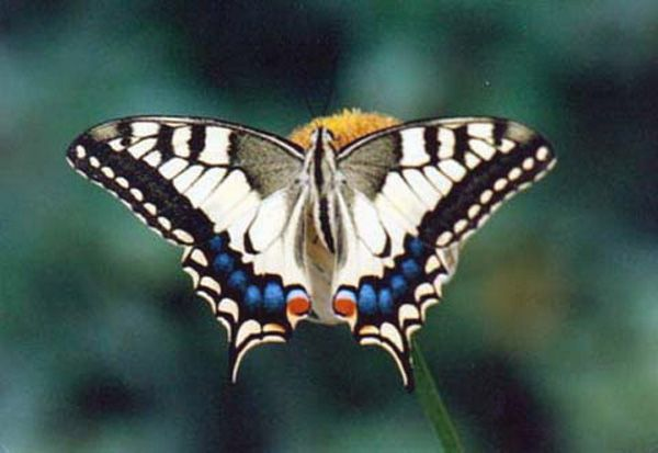 papilio_machaon_ac