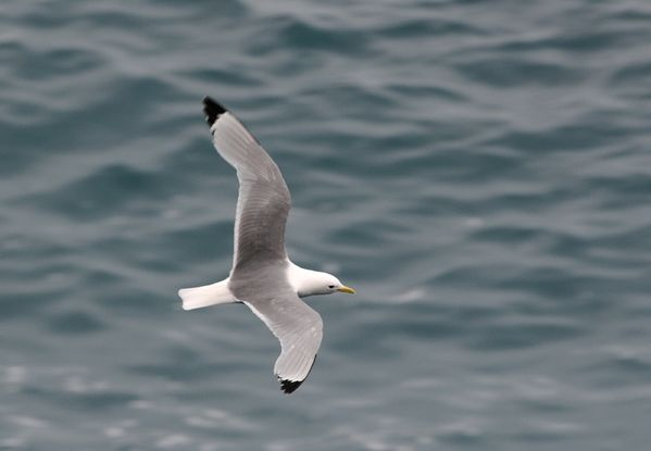 mouette_tridactyle_2r.jpg