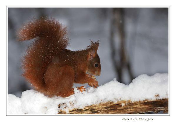 Ecureuil-sous-la-neige2.jpg