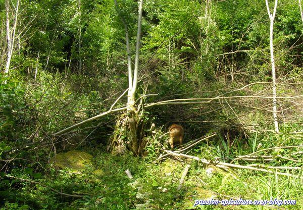 Forêt CHEVREUIL (15)