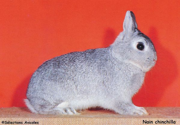 Nain chinchilla
