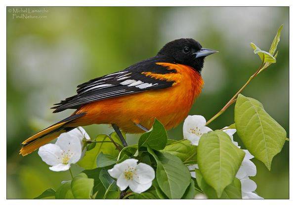 oriole baltimore