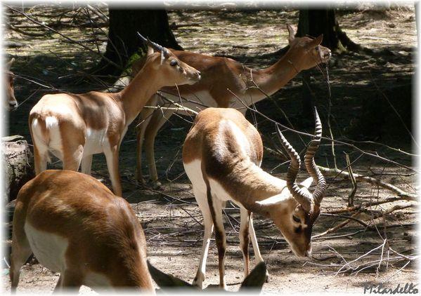 249-c-antilope-cervicapre-3.JPG