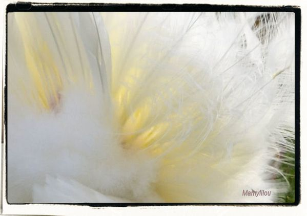 Paon plumes