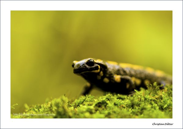 Salamandre 9857a