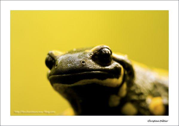 Salamandre 9871a