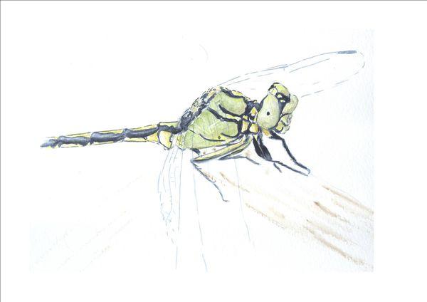 ophiogomphus 3