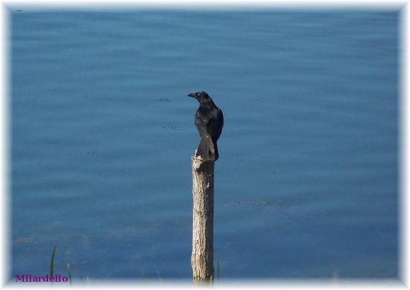 rm-pb-corbeau-sur-piquet.jpg
