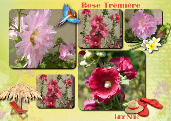 rose-tremiere.jpg