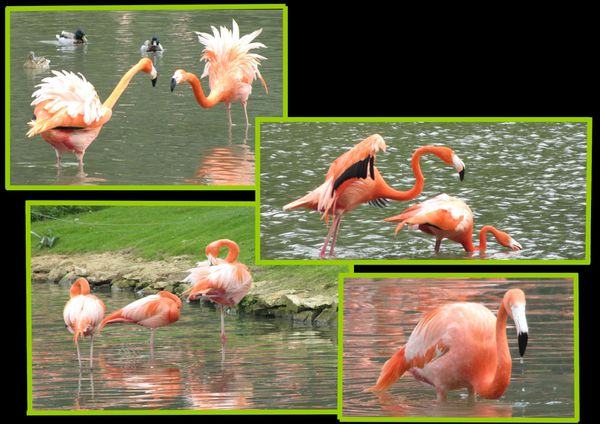 zoo flamant rose