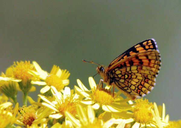 papillons 9627