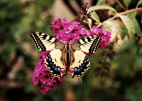 Papilio-machaon-sur-buddleia