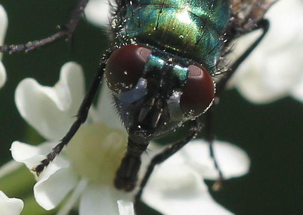 mouche la lucilie impériale (2)