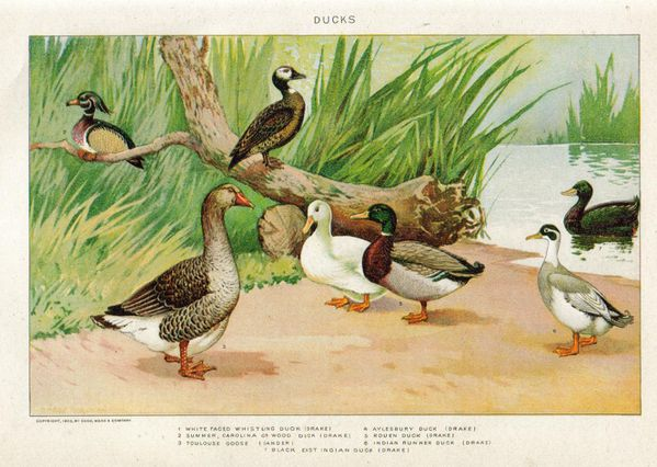 oie et canards 1902 New International Encyclopedia