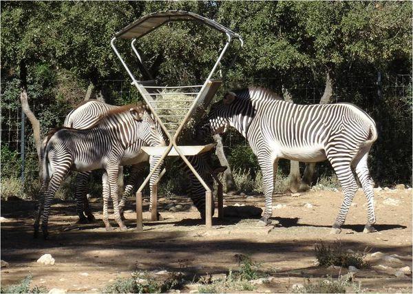 zebres-zoo-montpellier.jpg