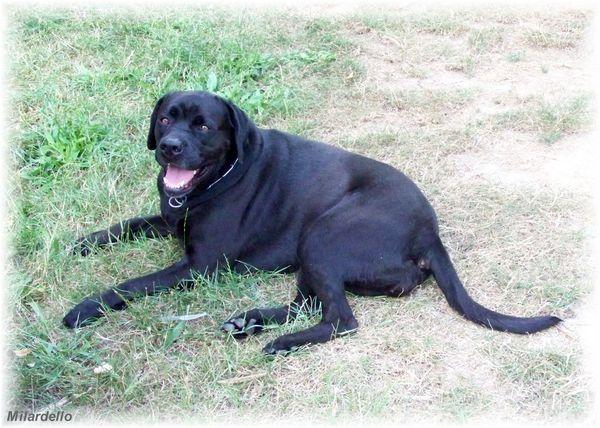 Labrador-croise-avec-boxer-chien-attitude.jpg