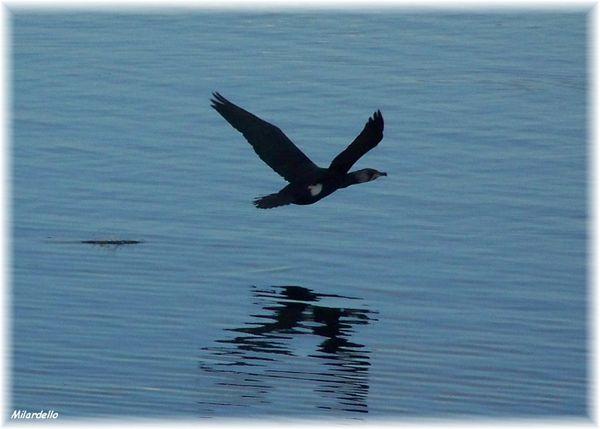rm-pb-cormoran-en-vol-3.jpg