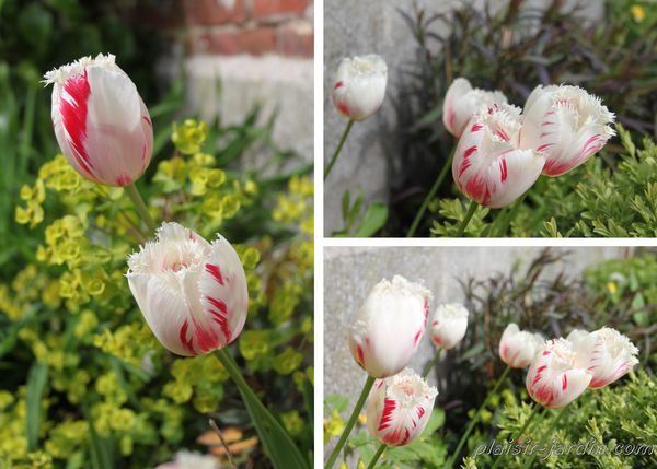 Tulipe-carrousel.jpg