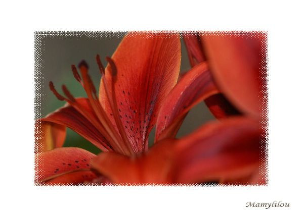 Lys rouge 040
