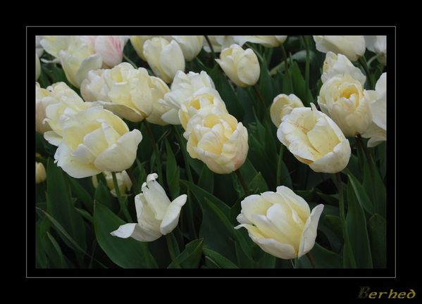 tulipes-blanches.jpg