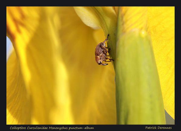 pot-pourri-7-5643Mononychus-punctum-.jpg
