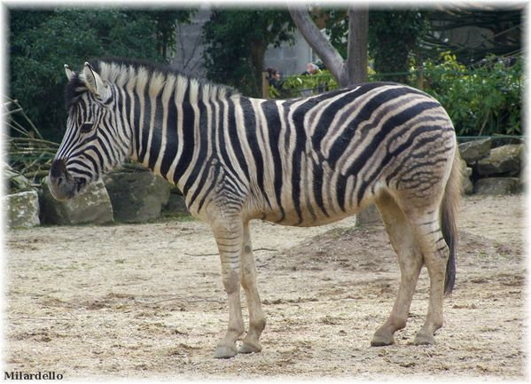 rm-pb-zebre-de-chapman-2.jpg