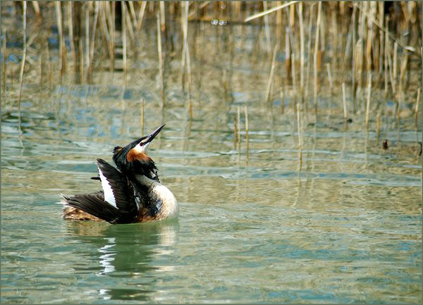 grebes-3-copie-1.jpg