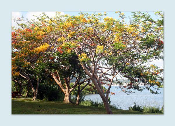 Le Flamboyant Jaune Martinique 2011