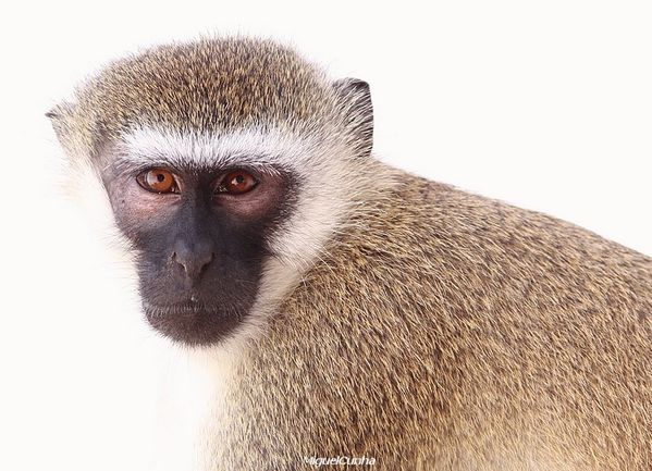 vervet monkey small