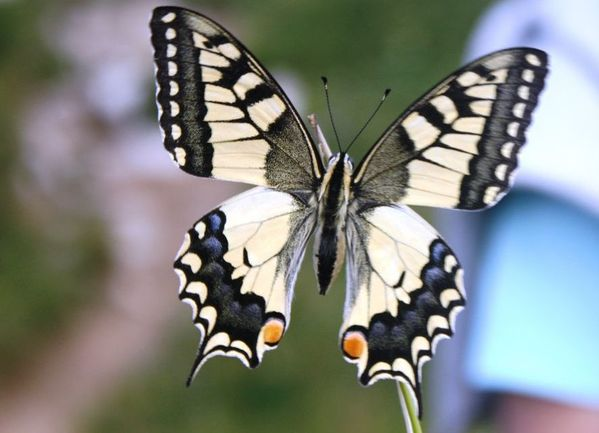 08 Machaon 2
