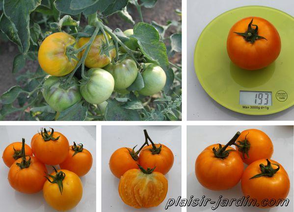 Tomate-lemon-boy.jpg