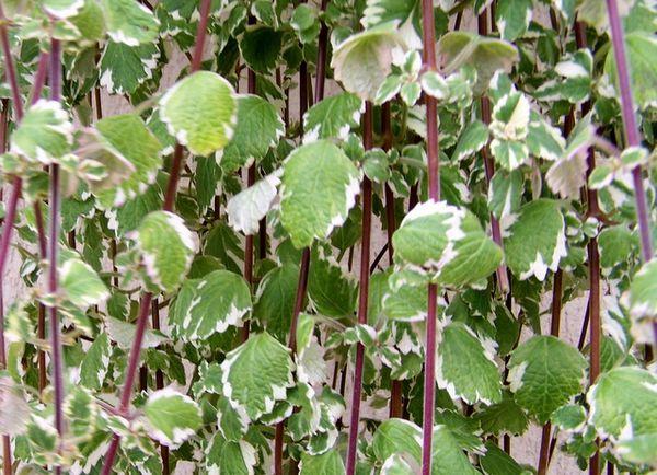 af-ferret--mur-vegetal.JPG
