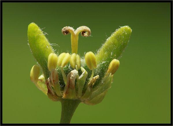 Erable-fleur-286.jpg