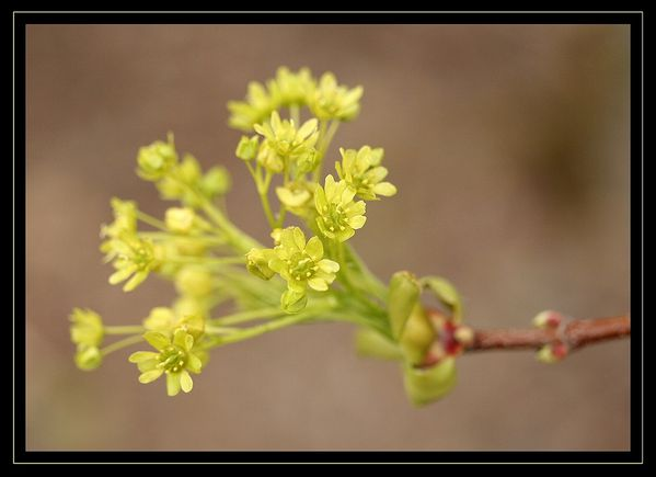 Acer platanoides2