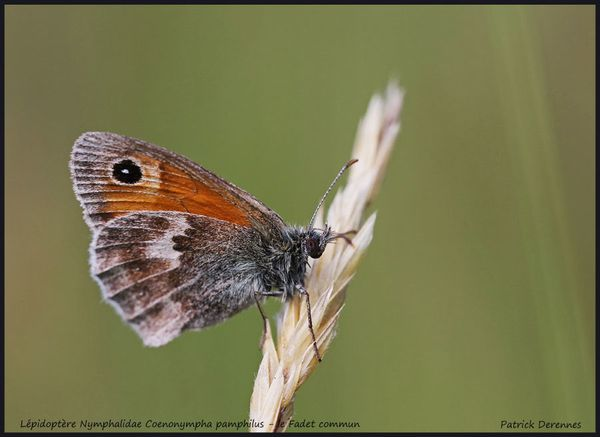 pot-pourri-9-5377Coenonympha-pamphil.jpg