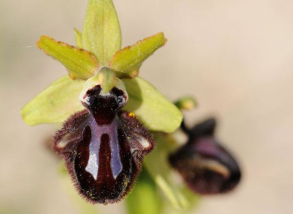 Ophrys incubacea Olivier VANNUCCI
