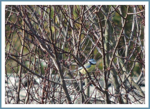 Oiseaux de nos jardins (59)