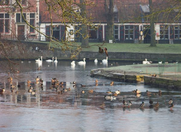 Cygnes et canards in Minnewater devant Béguinage
