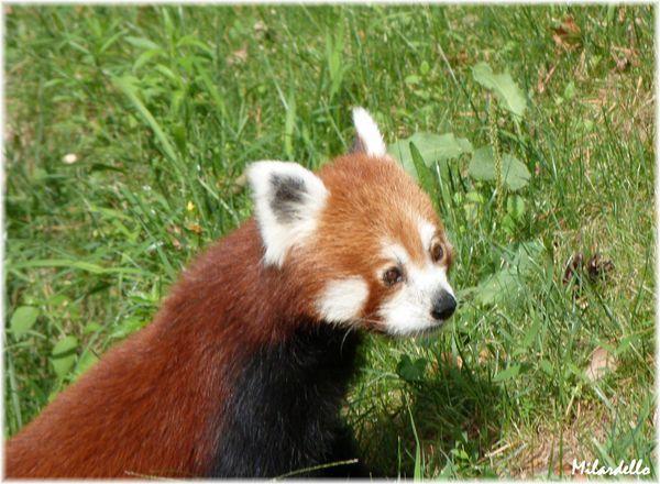 19-d-petit-panda-roux-a1.jpg